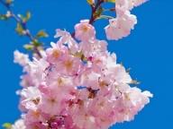 桜の開花とフラワー・イン・ブルーム #254