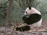ひとりっPが四川省で出会ったいろんなパンダたち