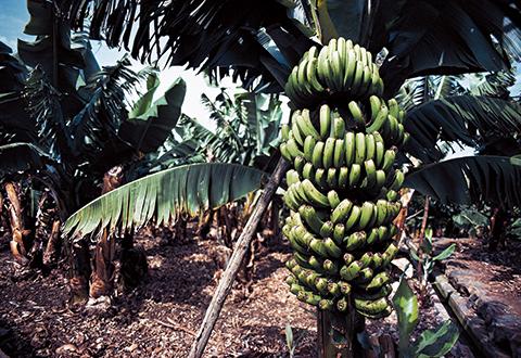 「生まれ故郷はカナリア諸島の、バナナ・プランテーション。 この農園は僕が今もそのまま所有している」 DEAGOSTINI / GETTYIMAGES