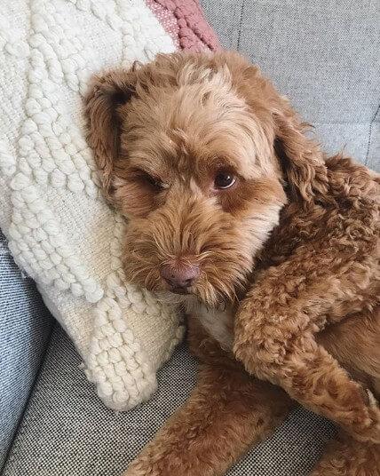テイラー・ヒルの愛犬は、スタンダードプードルのテイトくん。