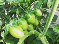 自宅がプチトマト農園に!? #深夜のこっそり話 #779