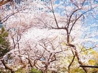 愛宕神社で愛でる鯉と桜