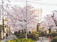 日常になじむ駒繁公園の桜