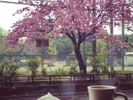コーヒーのお供に八重桜