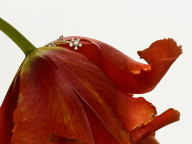 ソフィー ビル ブラーエが描く、耽美なフラワーポートレート。プレスプリング最新ジュエリーが登場
