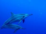 絶品シュノーケルスポット『2STEP』で、ひとりっP、イルカの大群と泳ぐ!の巻!