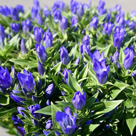 安代りんどうは、岩手県八幡市を産地とし、約16年に亘り、 オランダ・アムステルダムにある世界最大規模の 花卉卸売市場、アールスメール花市場に流通