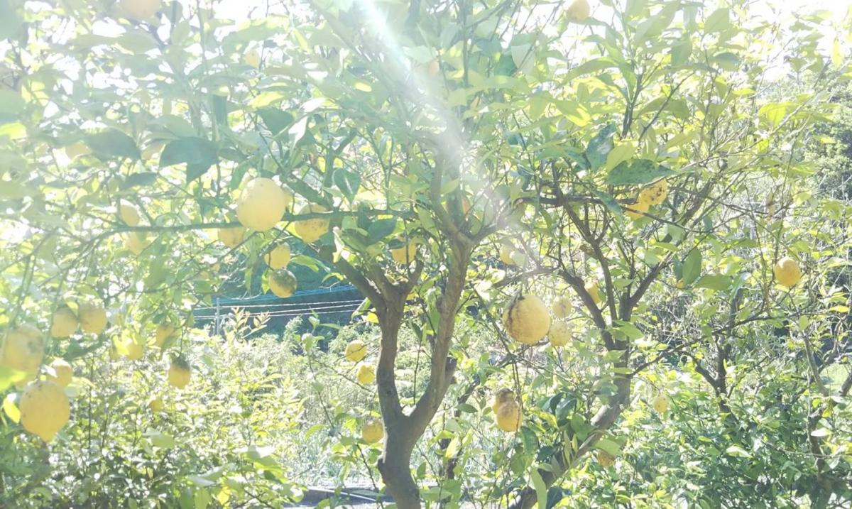 レモンを丸ごと無駄にすることなく、きちんと加工する責任をアムリ ターラが持つことで、環境も地域も循環するサスティナビリティに繋が
