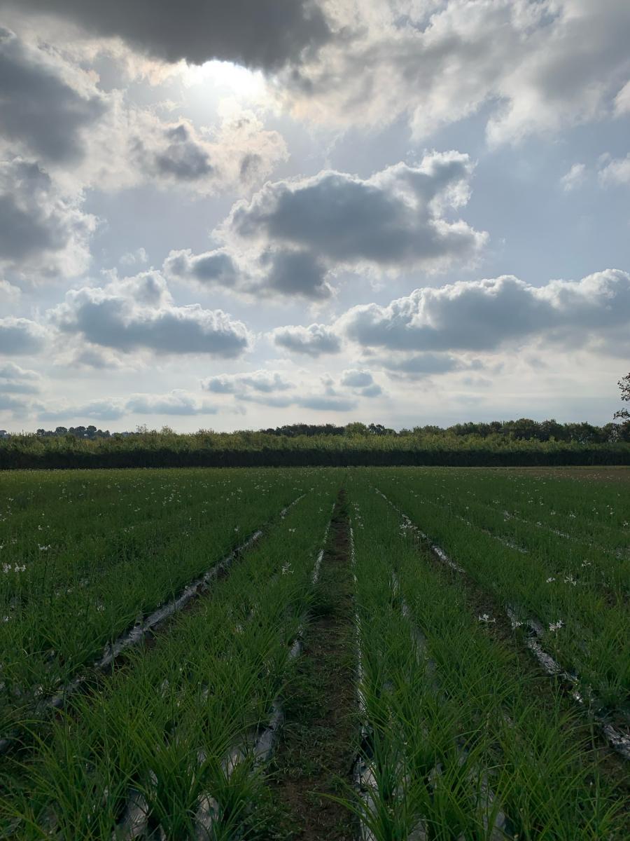 9月に訪れた南仏のチュベローズ畑。濃厚な香りがあたりに漂っていました
