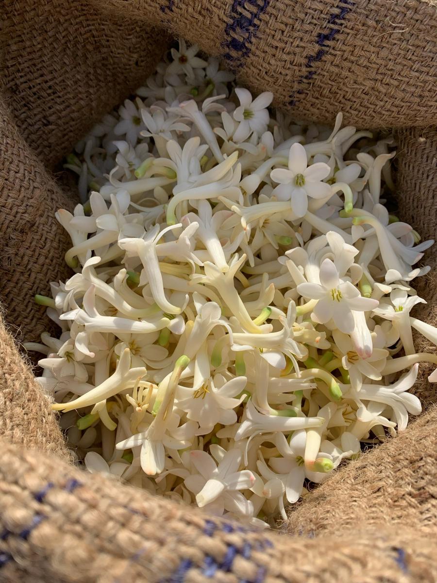 収穫されたチュベローズの花。その日のうちに工場に運ばれ、香りの抽出作業が行われます