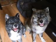 ワイルドな2匹は秋田犬!